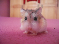 Lila, rongeur Hamster