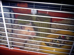Maiki, rongeur Hamster