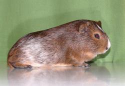 Aguti, rongeur Cochon d'Inde