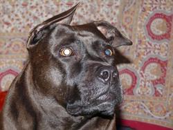 Mya, chien Staffordshire Bull Terrier