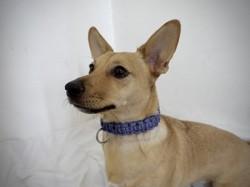 Châtaigne, chien Jack Russell Terrier