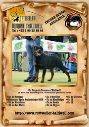 Ch Banjo Du Domaine D'Halliwell, chien Rottweiler