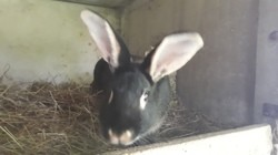 Chèvrefeuille, rongeur Lapin