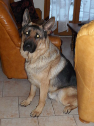 Chabal, chien Berger allemand