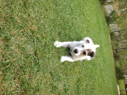 Chabal , chien Jack Russell Terrier