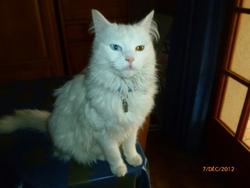 Chacha, chat Angora turc