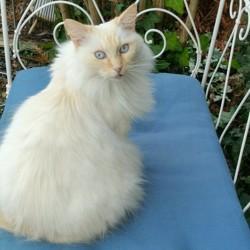 Chacha, chat Sibérien
