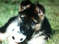 Chaco, chien Berger allemand