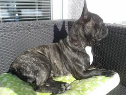 Chade, chien Bouledogue français
