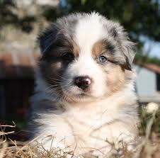 Chadow, chien Berger australien