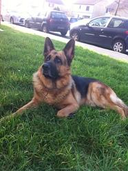 Chado, chien Berger allemand