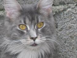 Chai De La Petite Lèopoldine, chat Maine Coon