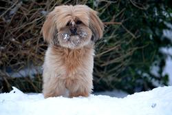 Chai-Thy, chien