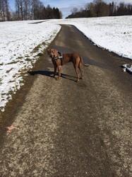 Chaiko, chien Rhodesian Ridgeback