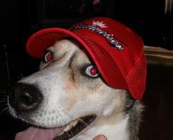 Chaina, chien Husky sibérien