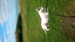 Chaina, chien Bull Terrier