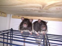 Chaka Et Punk, rongeur Rat