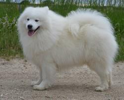 Chaka Khan, chien Samoyède