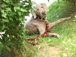 Chaka, chien Braque de Weimar