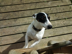 Charlie, chien Jack Russell Terrier