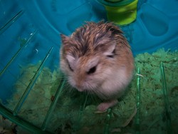 Chama, rongeur Hamster