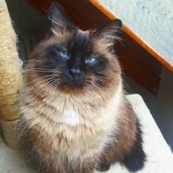 Chamallow, chat Européen