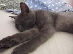 Chamallow, chat Bleu russe