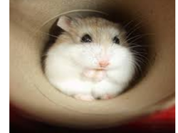 Chamallow, rongeur Hamster