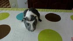 Chamaloow, rongeur Cochon d'Inde