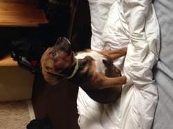 Chamalow, chien Boxer