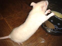 Champagne, rongeur Rat