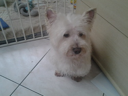 Champion, chien West Highland White Terrier