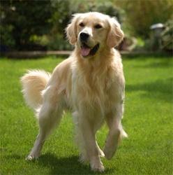 Manéo, chien Golden Retriever