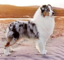 Champion, chien Berger australien
