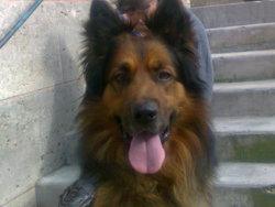 Champion, chien Berger allemand