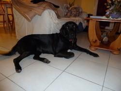 Chana, chien Labrador Retriever