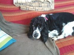 Chana, chien Cocker anglais