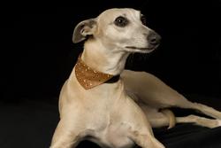 Chana, chien Whippet