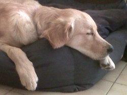 Chance, chien Golden Retriever