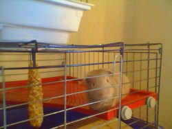 Chance, rongeur Cochon d'Inde