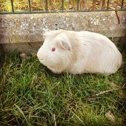 Chance , rongeur Cochon d'Inde