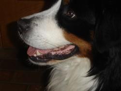 Chance, chien Bouvier bernois