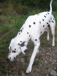 Chance, chien Dalmatien