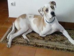 Chance, chien Dogue allemand