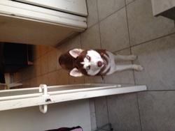 Chance, chien Husky sibérien