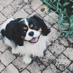 Chandler, chien Cavalier King Charles Spaniel