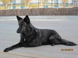 Chandy, chien Berger hollandais