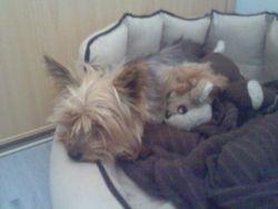 Chanel, chien Yorkshire Terrier