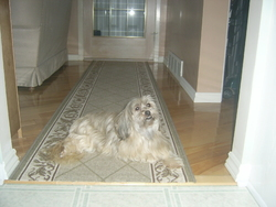 Chanel, chien Lhassa Apso