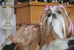 Chanel, chien Shih Tzu